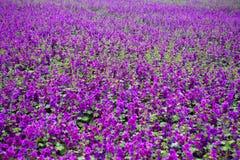 Field of beautiful wild purple mallow Royalty Free Stock Image