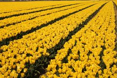 A field with beautiful yellow tulips and diagonal lines in holland in spring. A bulb field with yellow flowering tulips and diagonal lines at a sunny day in stock image