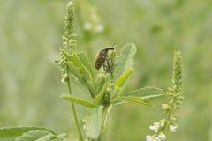 Field beetle Stock Photography