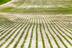 Field with beetroot Royalty Free Stock Photography