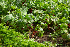 Field of beetroot red beets Stock Image
