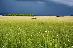 Field befoe a Storm. Wheat field with flowers, windy weather, just before a storm stock photos