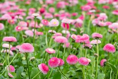 Field of bellis with selective focus Royalty Free Stock Image