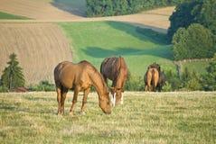 field betande hästar Royaltyfria Foton