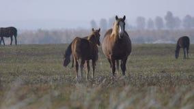 field betande hästar arkivfilmer