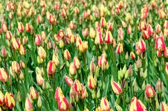 Field of bi-colored tulips in Keukenhof garden, Netherlands. Field of many closed bi-colored tulips in Keukenhof garden, Netherlands royalty free stock images