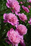 A field of big bright pink peonies. With green leafs royalty free stock photography
