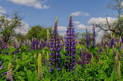Field of big violet lupines longing for blue sky Stock Photo