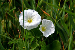 Field Bindweed Blossoms. An unusual pair of blossoms there is a heart shaped spot on the right blossom of Field Bindweed Stock Photography