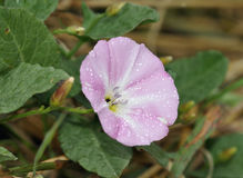 Field Bindweed Royalty Free Stock Photos