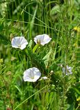 Field bindweed Royalty Free Stock Image