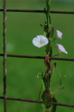 Field bindweed. Convolvulus arvensis on a rusty welded mesh Stock Photo