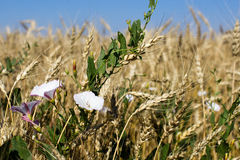 Field bindweed Stock Image