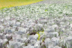 Field with biological cultivated red cabbages Royalty Free Stock Images