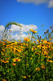 Field of Black Eyed Susan Flowers. A field of Black Eyed Susan flowers in Lake Geneva, WI stock photography