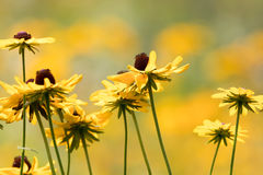 A field of Black-Eyed Susan flowers (Rudbeckia) in golden peak color, selective focus Royalty Free Stock Photo