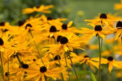 Field of Black-eyed Susan flowers. Royalty Free Stock Images