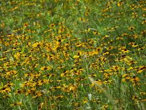 Field of Black Eyed Susans. Black Eyed Susans swaying in the breeze Stock Image