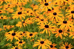 Field of Black Eyed Susans Royalty Free Stock Images