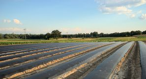 Field with black plastic row covers. Field with black plastic covering the empty rows, ready to plant Stock Image