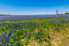 A Field Blanketed with the Famous Texas Bluebonnets Royalty Free Stock Photos