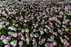 A Field Blanketed in Pink Evening Primrose, a Texas Wildflower Stock Photos