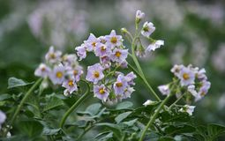 In the field bloom potatoes. On the farm field bushes grow potatoes Royalty Free Stock Images