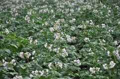 In the field bloom potatoes. On the farm field bushes grow potatoes Stock Photos