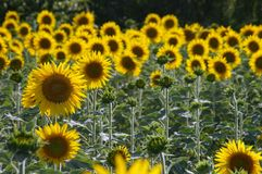 Field of bloomed sunflowers Stock Photography
