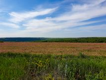 A field with blooming alfalfa on a blue background on a summer day. A field with blooming alfalfa on a blue background stock photo