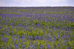 Field with blooming blue flowers Royalty Free Stock Images