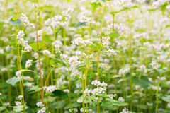 The field of blooming buckwheat Royalty Free Stock Image
