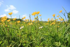 A field with blooming buttercups and daisies in the park in spring. Blue sky with clouds and a field with blooming buttercups and daisies in the grassland in Stock Photo