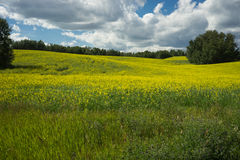 Field of blooming canola Stock Image