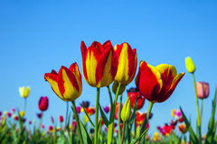 Field with blooming colorful tulips stock photo