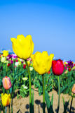 Field with blooming colorful tulips. Spring field with blooming colorful tulips Royalty Free Stock Photography