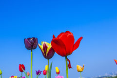 Field with blooming colorful tulips Stock Photos