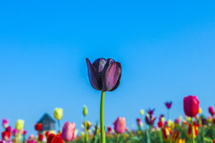Field with blooming colorful tulips Royalty Free Stock Photography