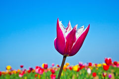 Field with blooming colorful tulips Stock Images