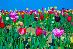 Field with blooming colorful tulips Royalty Free Stock Images