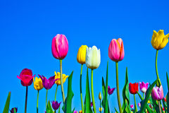 Field with blooming colorful tulips Stock Photography