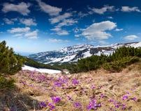 Field of blooming crocuses stock images
