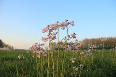 Cuckoo flowers in the grassland in the park at sunset. A field of blooming cuckoo flowers in the park at the countryside in the late evening in the beaufitul stock photography