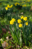 Field of blooming daffodils Stock Photography