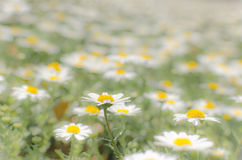 A field of blooming daisies in low contrast Stock Photos