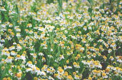Field of blooming daisy flowers royalty free stock photo