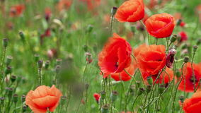 Field of blooming and dancing in the wind poppies, Poppy field ProRes 4.2.2. 10bit stock footage