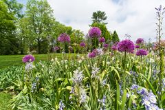 Field of blooming decorative onion flowers in spring garden. Purple blooming onion flowers in spring garden Stock Image