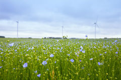 The field of blooming flax and windmills Stock Photography