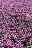 Field of blooming flower lillac calluna Royalty Free Stock Images